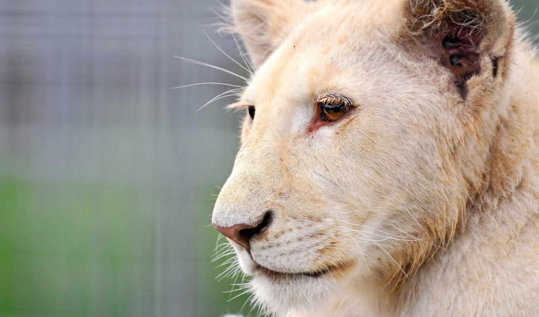 морда, albino, кот, white, тигр, lion,