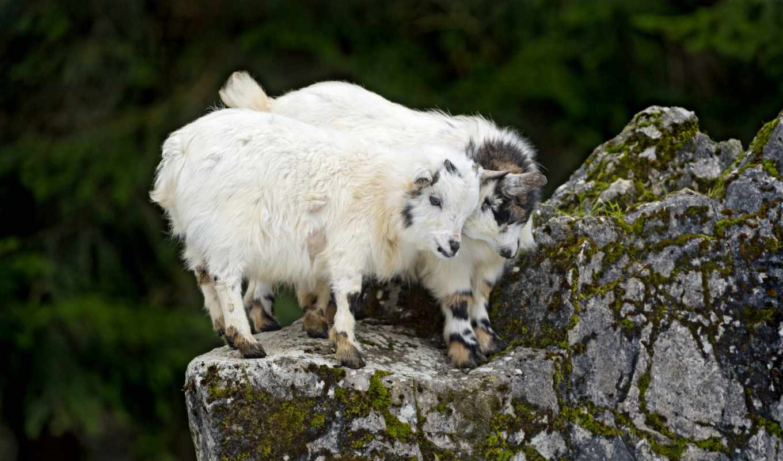 goat, rocks, image,