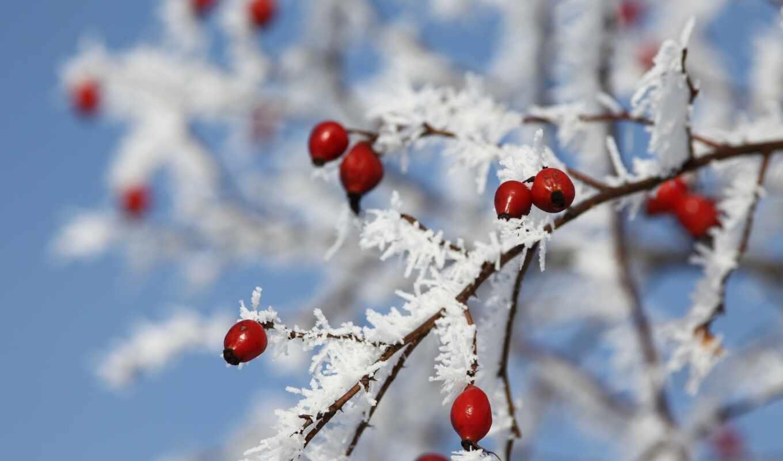 winter, рябина, погода, иней, branch, оренбуржье, площадь, снег, citizen, палуба, sinoptika