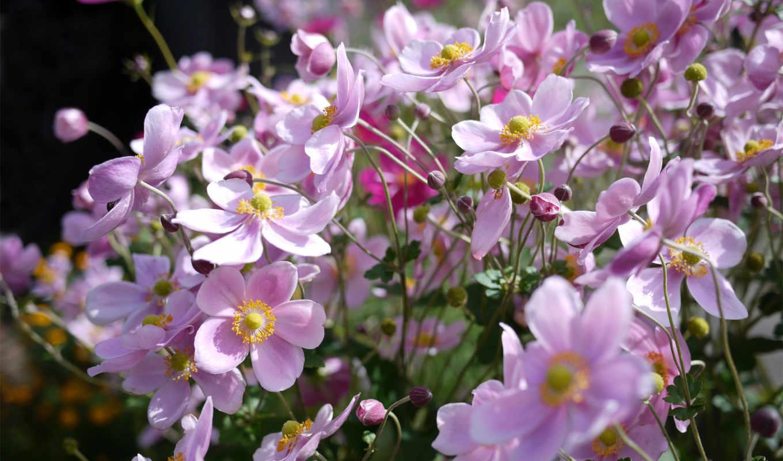 цветы, anemone,
