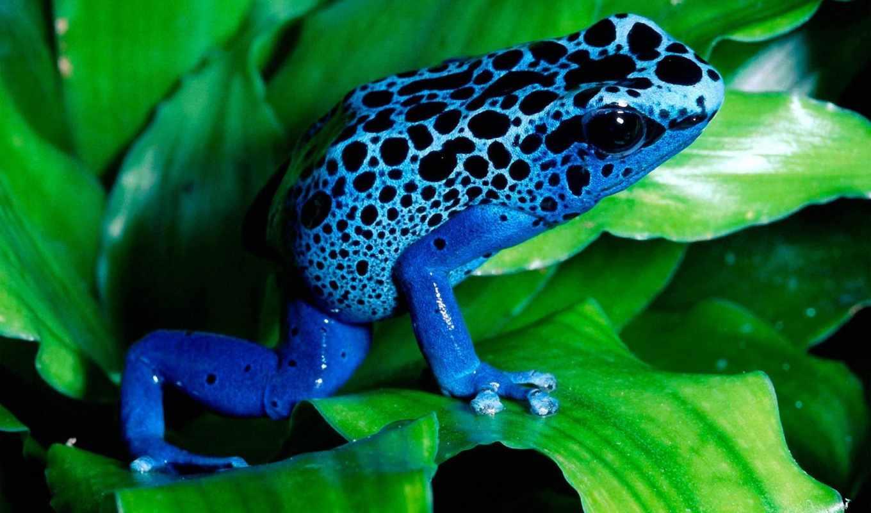лягушка, синяя, лист, wpapers, свой, совершенно,