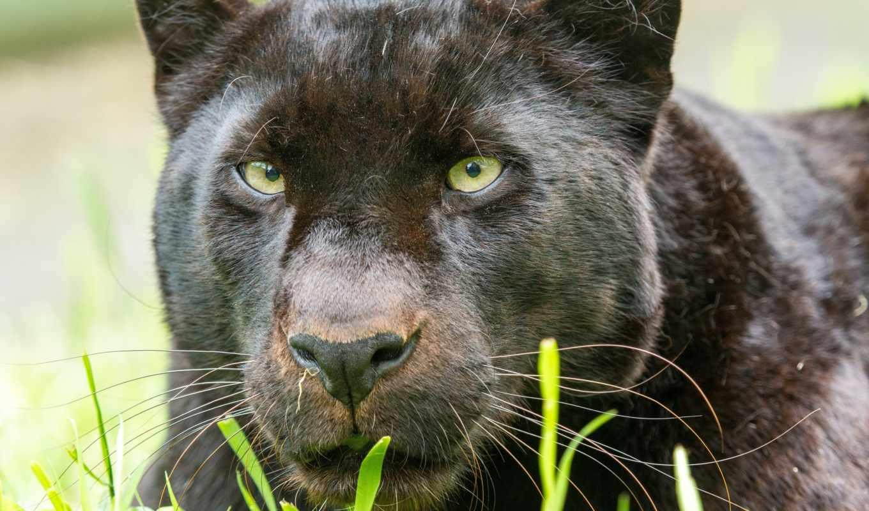 взгляд, морда, кошки, большие, животные, леопард, пантеры,