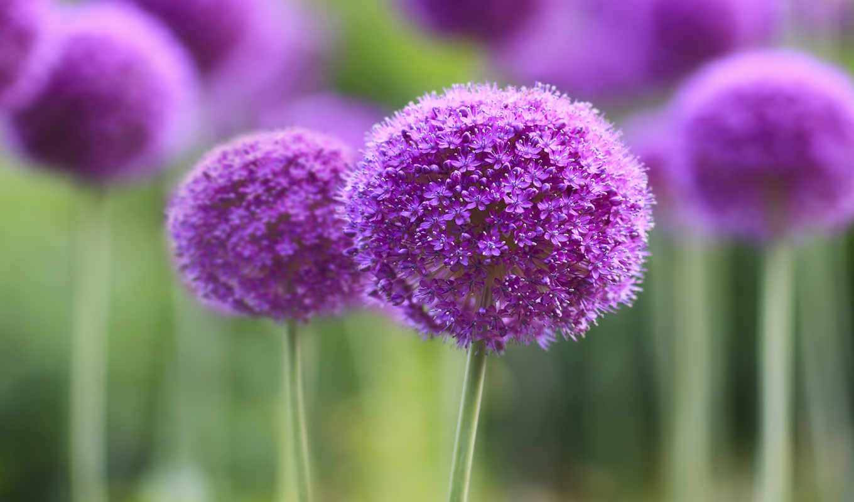 цветы, purple, розовые, квіти, природа, тюльпаны, фиолетовые,