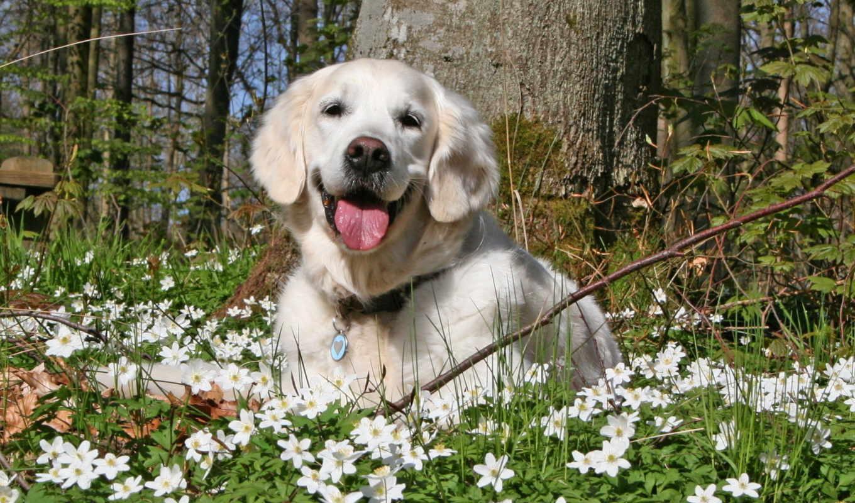 собака, картинка, flowers, фото, золотистый, качестве, цветы, изображение, summer,