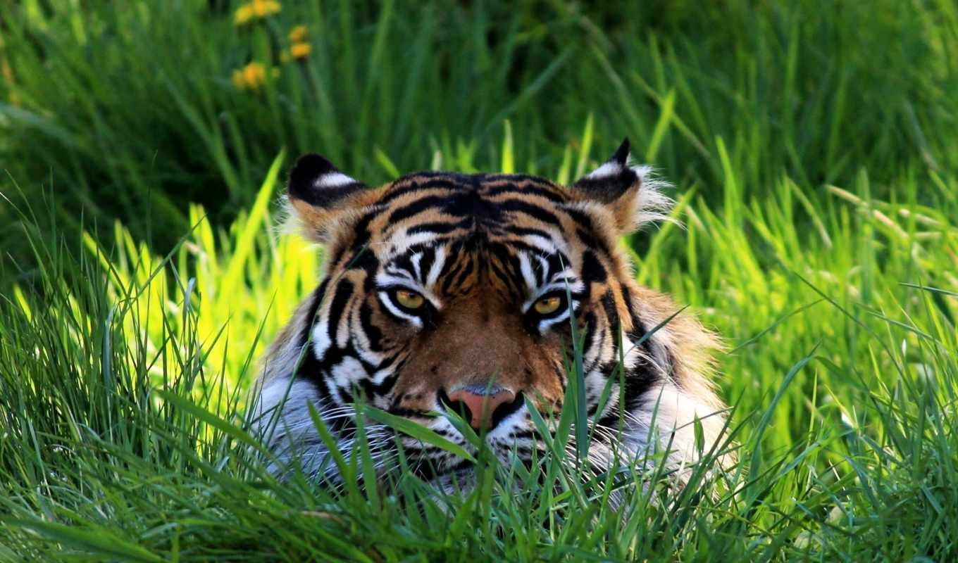 tiger, grass, resolution, download, views, total, selected, window,