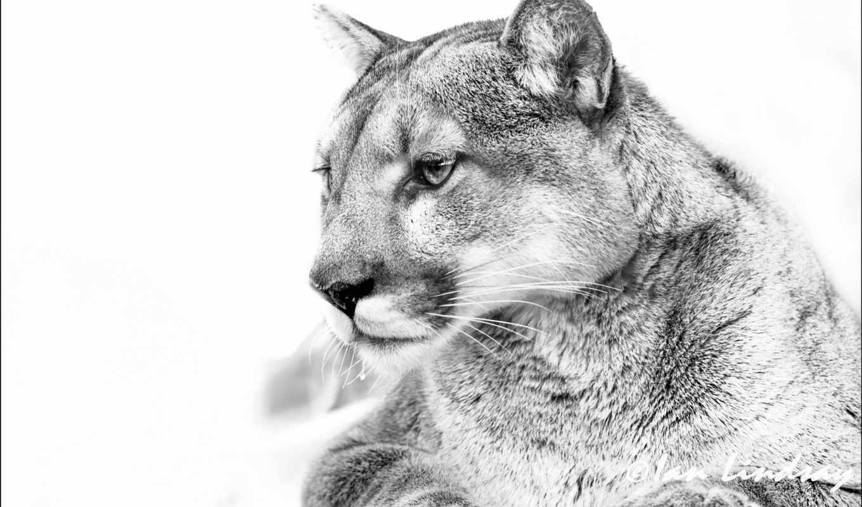 lion, чёрно, white, гора, puma, картинка, кагуар, чб,