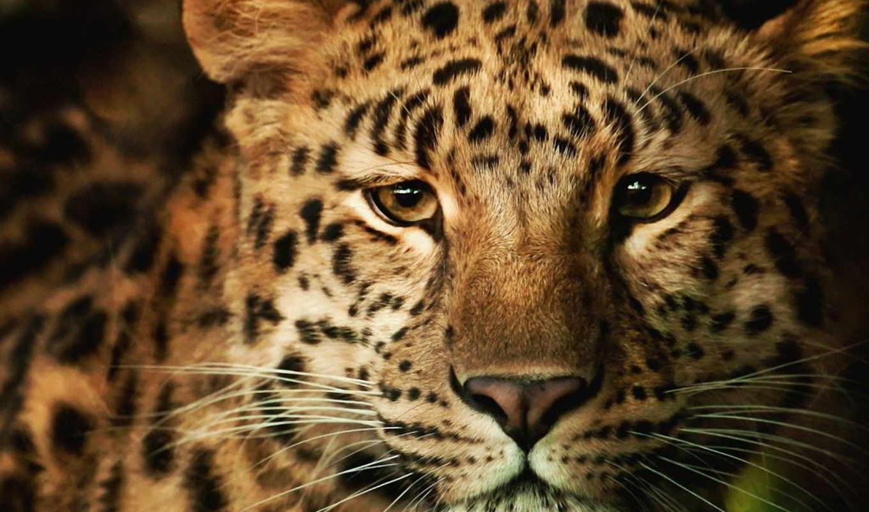 леопард, морда, леопарды, хищник, взгляд, пушистый,