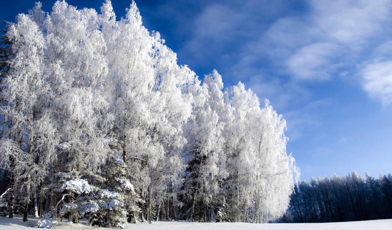 береза, grove, березовая, зимой, winter, деревья,