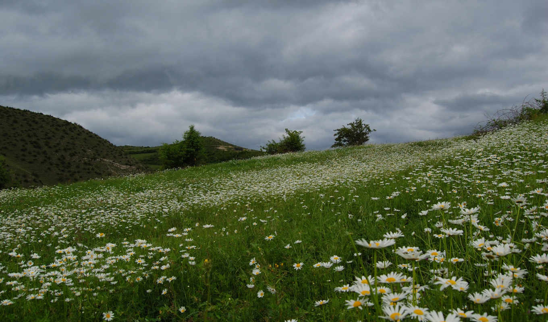поле, рoмашек, ромашки, красивое,