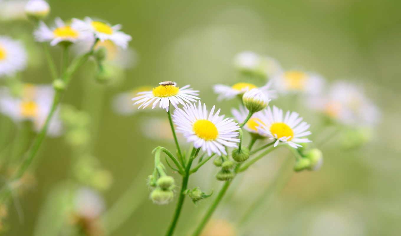 экстракт, цветочки, cvety, ароматический,