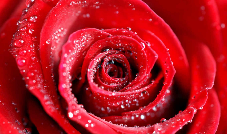 роза, красная, розы, agni, сердце, red, нояб, шейха,