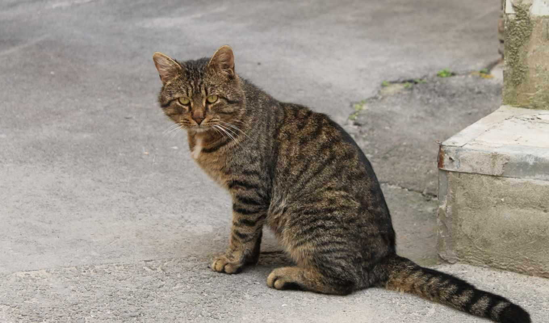 серая, кот, world, кошки, порода, кошек, everything, кошку,