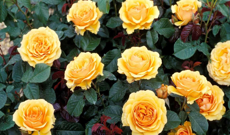 розы, желтые, возможность, цветы, качественная, коллекция, форматы, самая, большая,