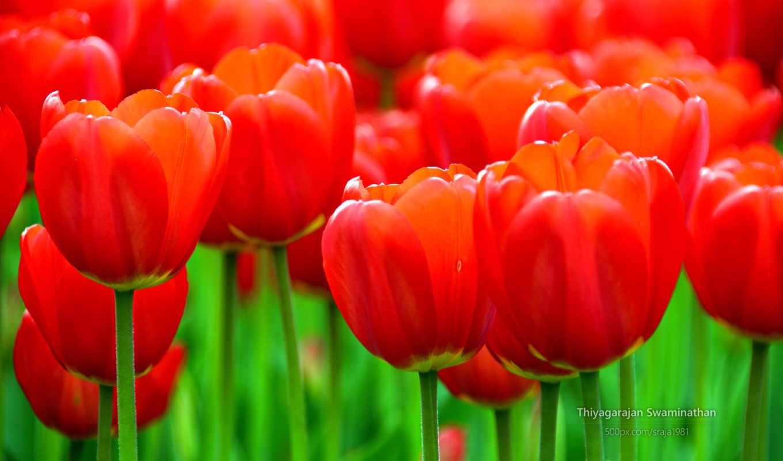 тюльпан, red, flowers, тюльпаны, красные, widescreen, дождь, june,