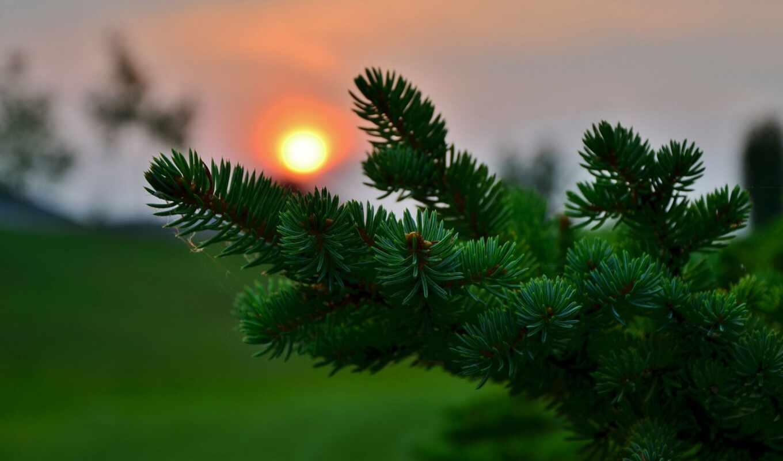 makryi, elit, красивый, закат, fir, hvoit, хвойный, игла, природа