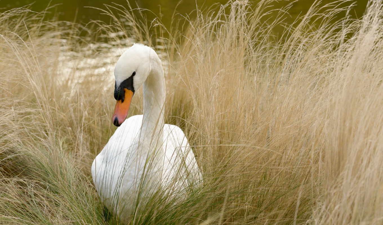 река,лебедь,трава,природа,
