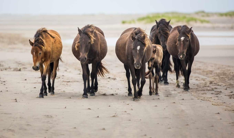 животные, лошади, кони, высоком, песок, качестве,