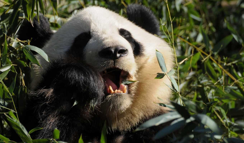 панды, панда, медведи, животные, животных,