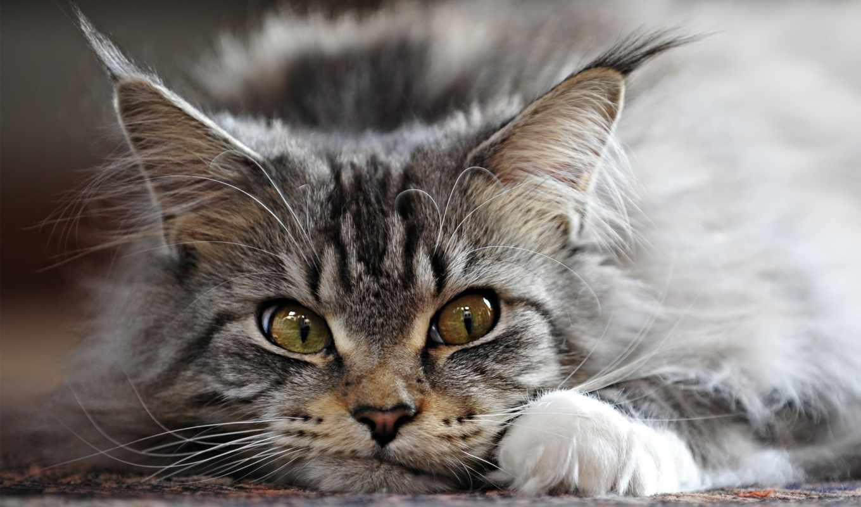 fone, кот, котята, котенок, разных, выставка, mein, kun, породы, мордочкой,