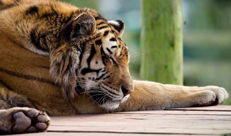 тигр, спит, морда, лапы, хищник, кошка, полосатая, рыжая, tigris, panthera,