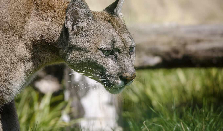 lion, cougar, кот, гора, puma, дикая, животные, пумы,