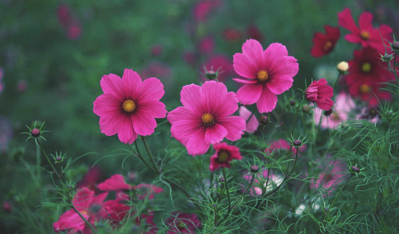 цветы, красивые, природа, луговые, flowers, розовые, яркие, главная,