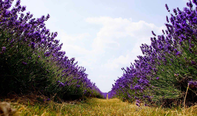 lavender, цветы,