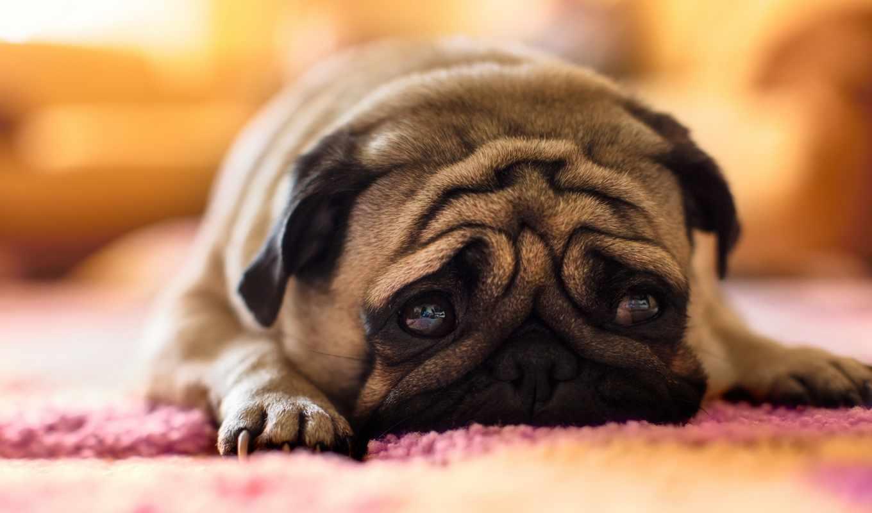 мопс, собака, грустный, лежит, морда,
