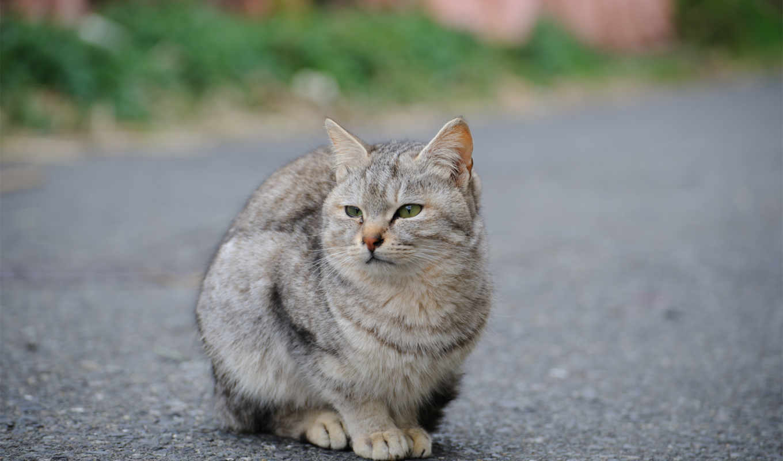 кот, картинка, улица, серый, дорога, асфальт, exterior, black, глазами,