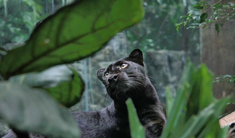 пантера, хищник, просмотреть, кошка, морда, большая, лежать,