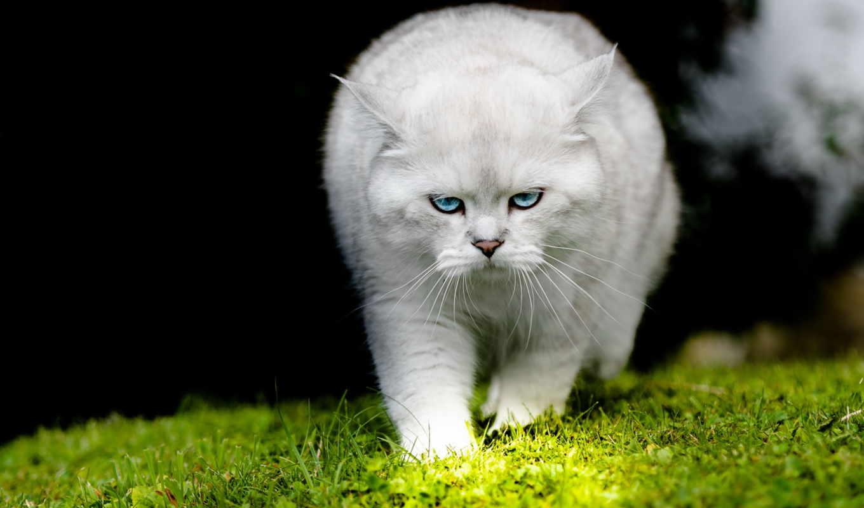 белый, кот, хмурый, трава,животные,