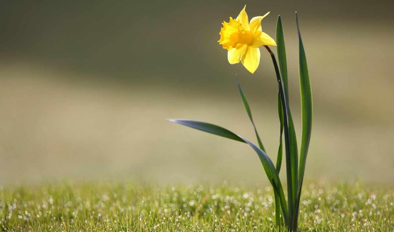 цветок, cvety, нарциссы, нарцисс, rosa, flowers, narcissuses, makro,
