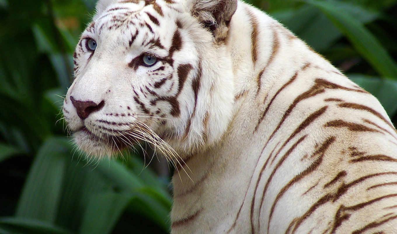 тигр, white, полоски, свет, красивый,