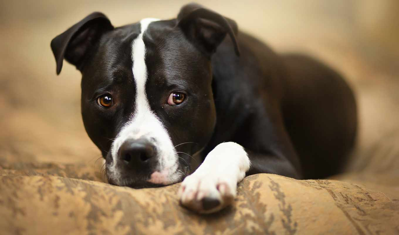 собака, взгляд питбультерьер, harden, world, amstaff, mistakes,