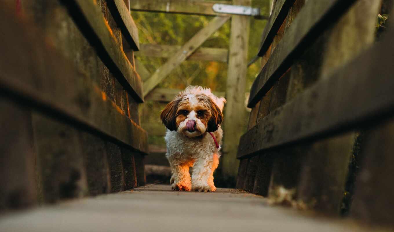 собака, мост, narrow, хороший, щенок, дорогой, stoloboi, cavachon, shirokoformatnyi