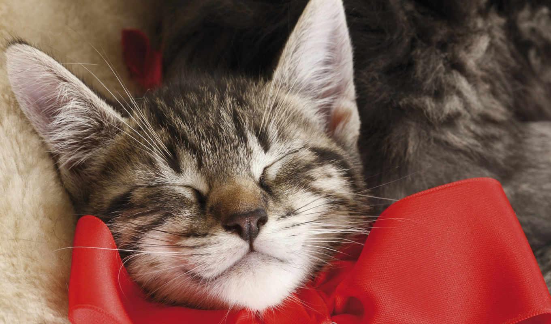 кот, бантом, спящий, котенок, present, красным, picture, вопрос, бантиком, день,