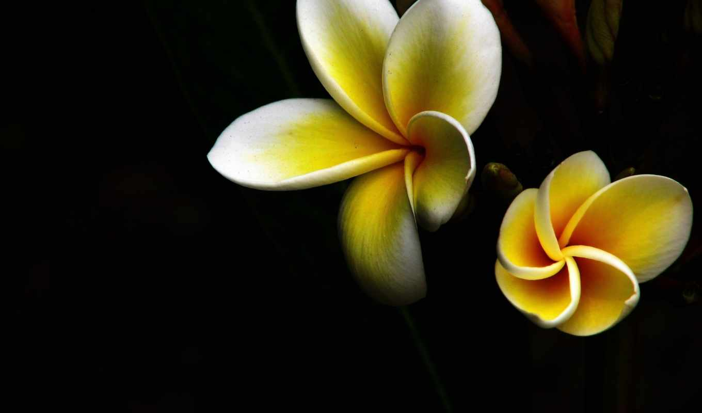 макро, цветы, yellow,