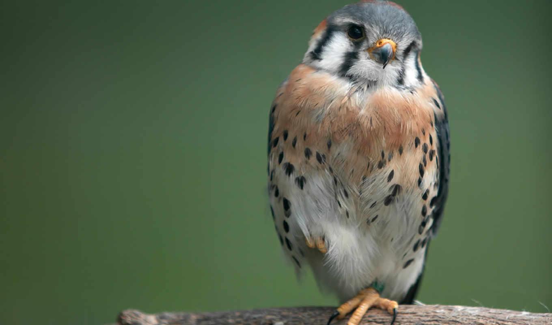 птица, сокол, птица, серый, ветка, пустельга, совершенно, свой,