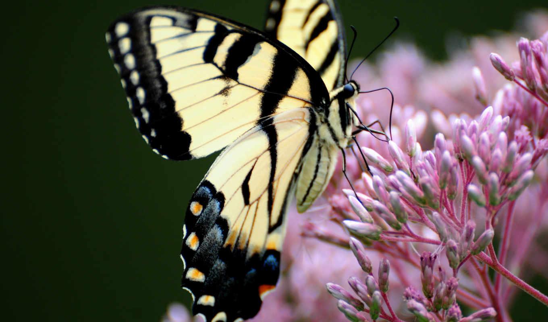 бабочка, махаон, цветке, сидит, рисунки, разных, разрешениях, заставки,