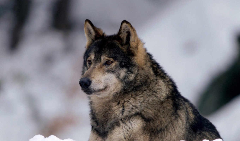 волк, winter, взгляд, снег, волки,