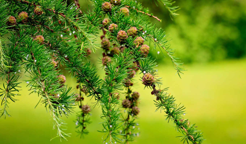 природа, широкоформатные, деревя, шишки, разных, branch, макро,