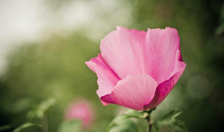 розовый, цветы, зелёный, hành, макро, hoa, color, cảm, cho, điện, nın,