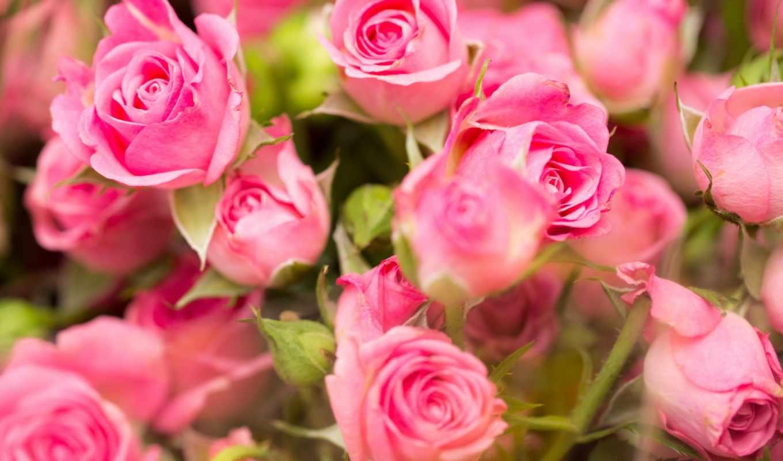 цветы, коллекция, fresh, розовый, роза,