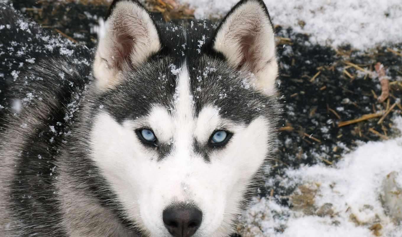 волк, eyes, blue, siberian, wolves, grey,