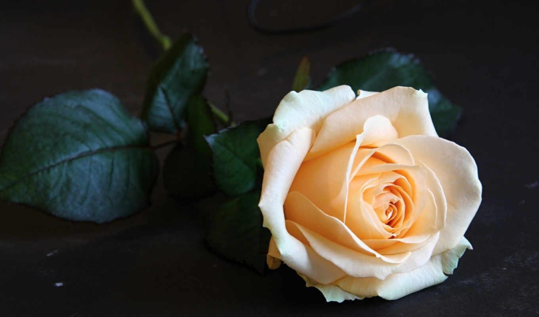 бутон, роза, розы, нежность, цветы, картинка, картинку,