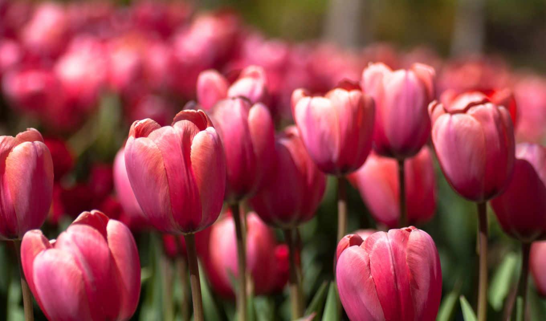 тюльпаны, бутоны,
