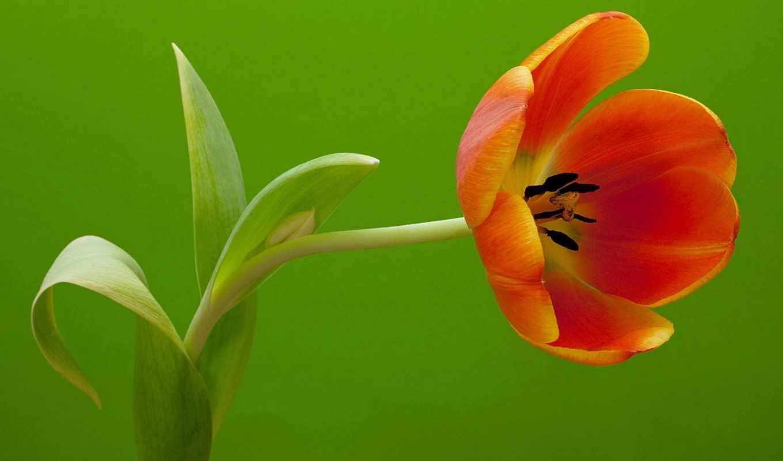 тюльпан, цветочная, стебель, красавица, цветы,