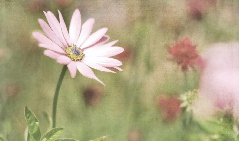 цветы, розовый, высоком,