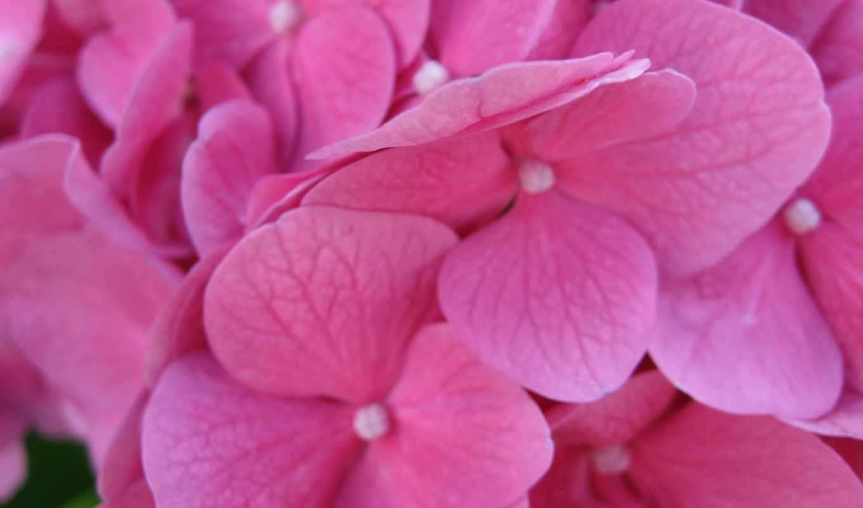 обои, цветы, розовые, розовый, гортензия, лепестки