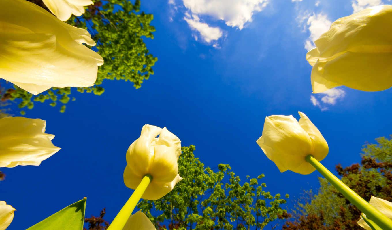 цветы, небо, wallpaper, деревья, yellow, tulips, wallpapers,
